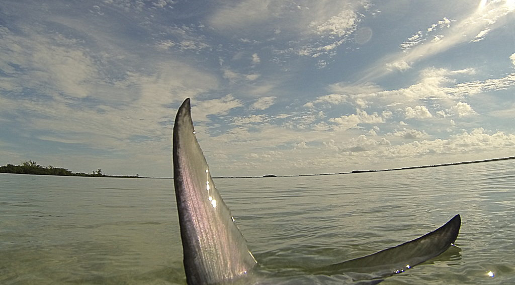 a picture of a permit sticking its tail out of the water as it is feeding in the shallows off of key west