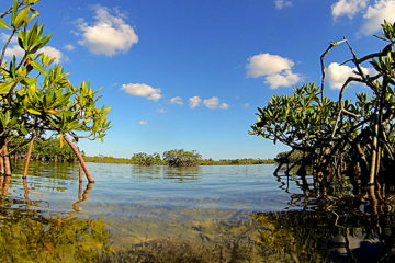 a picture taken at water level between two groups of mangrove trees and looking out at more mangroves in the background.