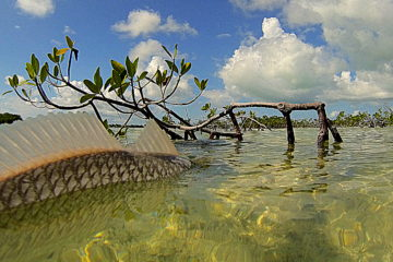 this picture is taken right at water level of a Florida keys redfish ready for release into the clear backcountry waters.