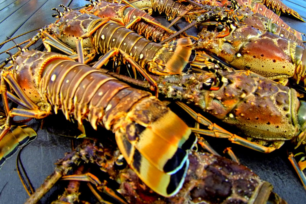 a close up shot up up about a dozen lobster lined up on the dock with beautiful orange coloration