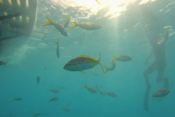An underwater picture of someone snorkeling with a school of yellowtail snapper in the Florida keys.