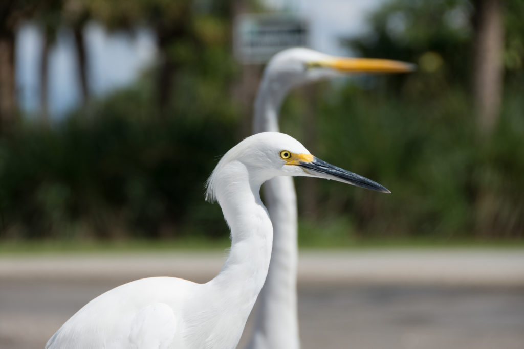a egret in the foreground and great white heron blurred out in the background wait at the boat ramp for any left over snacks