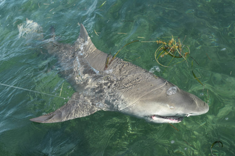 a eight foot lemon shark is boat side with the hook still in its mouth after a long battle on the flats off key west