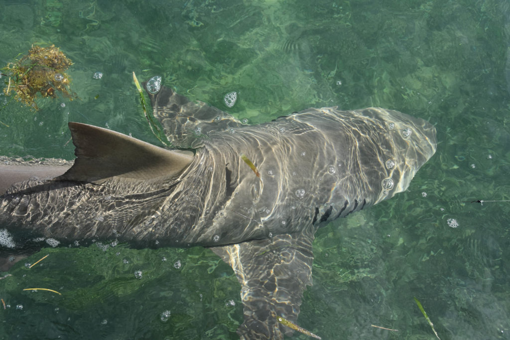 a big lemon shark is getting ready to be released into the clear backcountry waters of the Florida keys