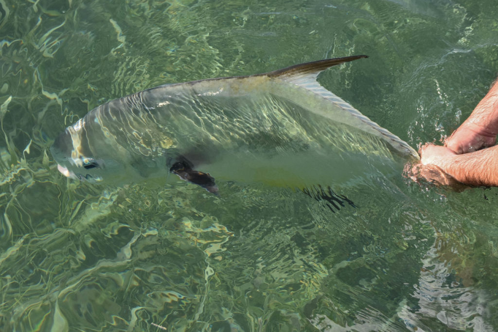 an angler holds the tail of a big permit with both hands as it is getting ready to be released