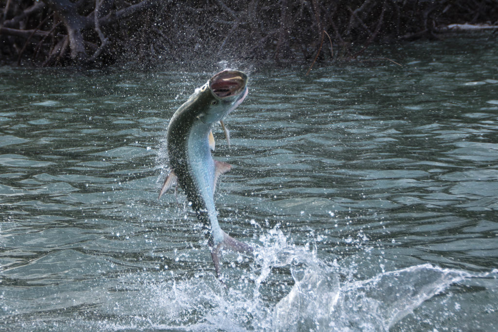 a baby tarpon is jumping out of the water with its mouth wide open and the water splashing around where it exited the water