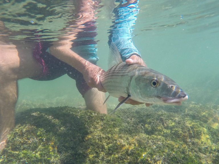 a nice bonefish is being held underwater ready for release