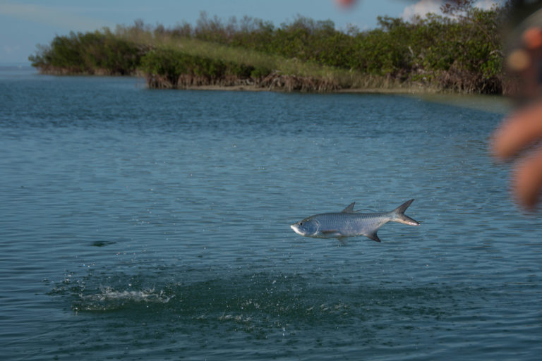 A fun sized tarpon is jumping out of the water next to some mangroves after being hooked on a fly rod.
