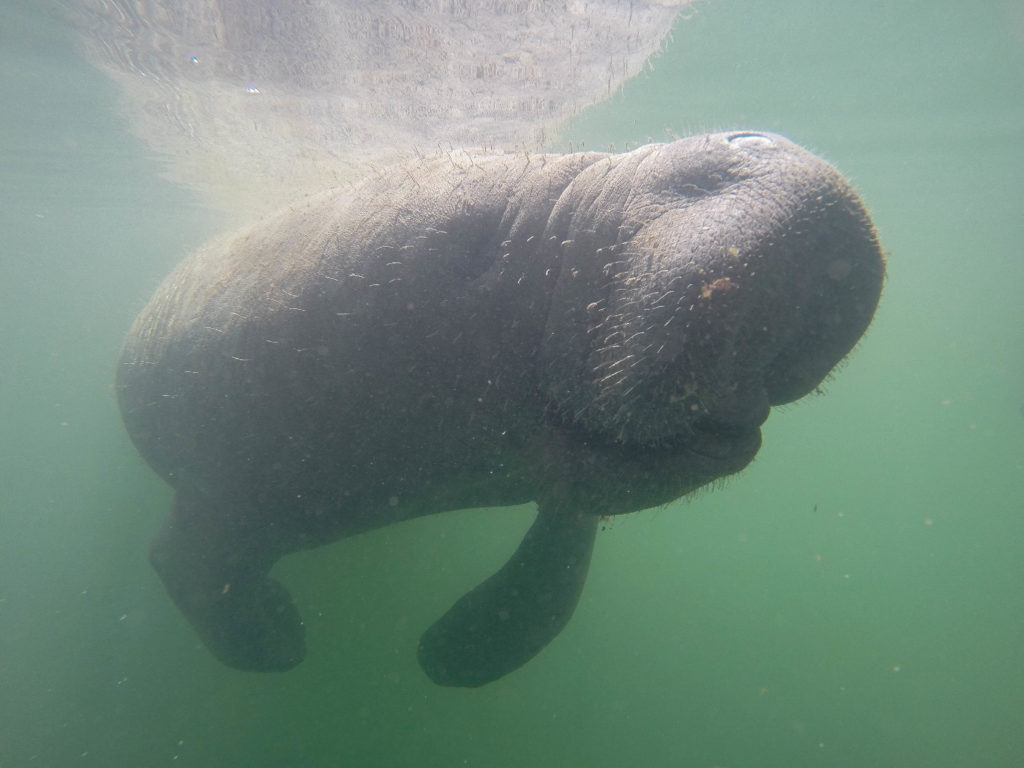 An underwater picture of a manatee.