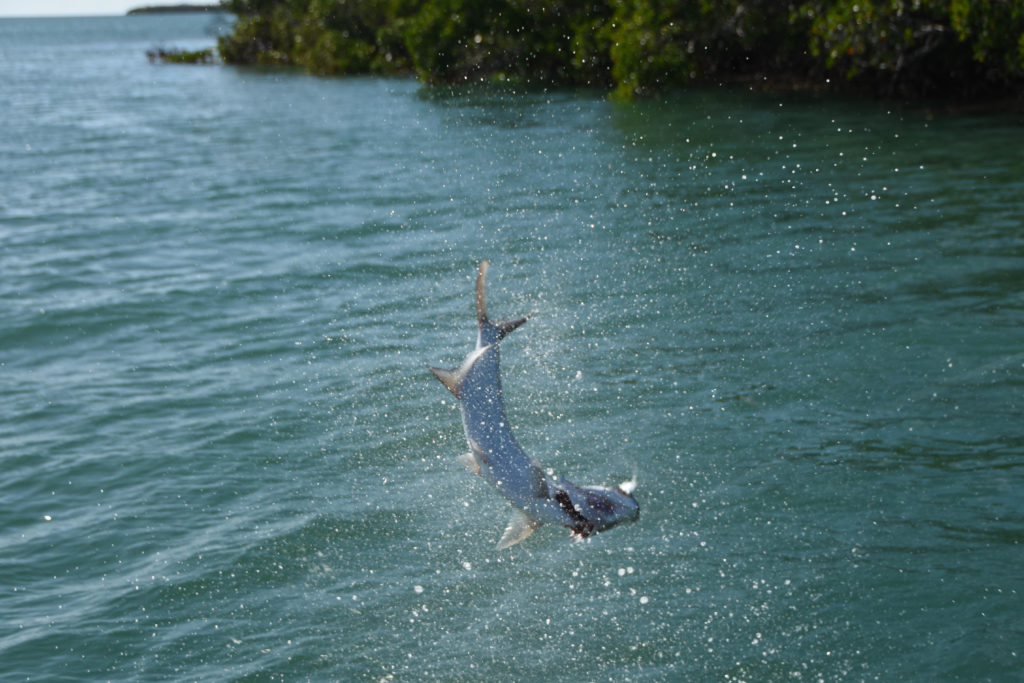 A baby tarpon is seen upside down in mid jump in the backcountry off of key west.