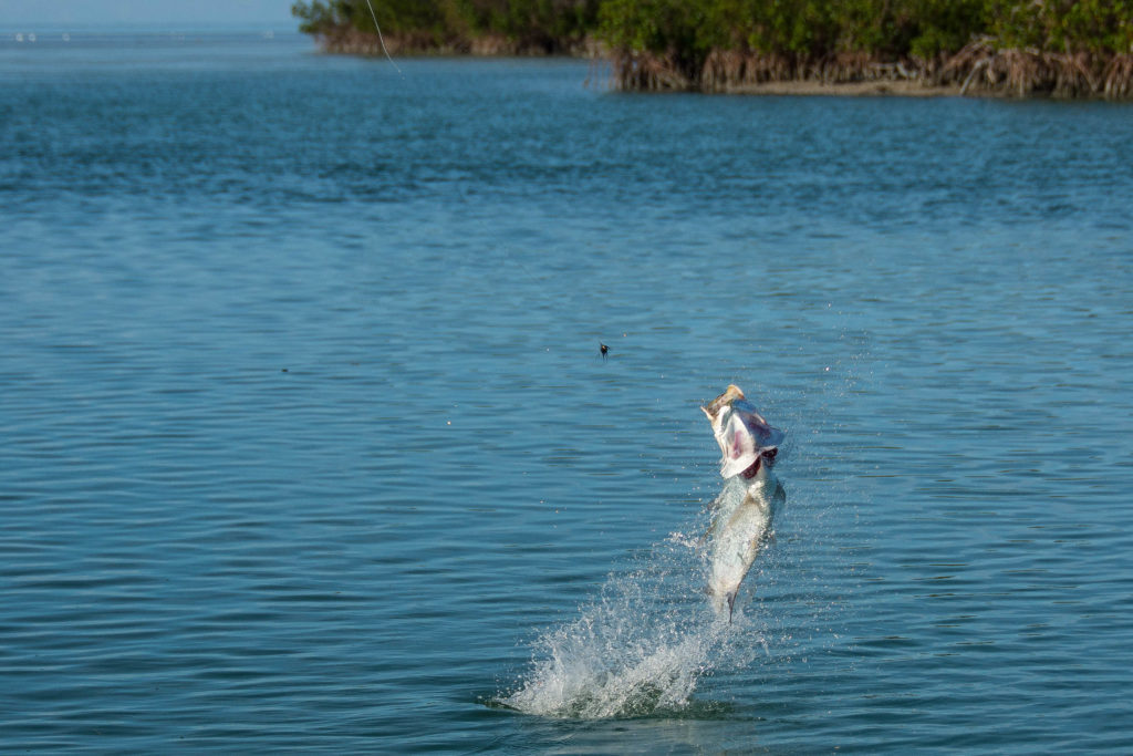A juvenile tarpon is jumping out of the water and spitting out a dark colored fly as it is in the air.