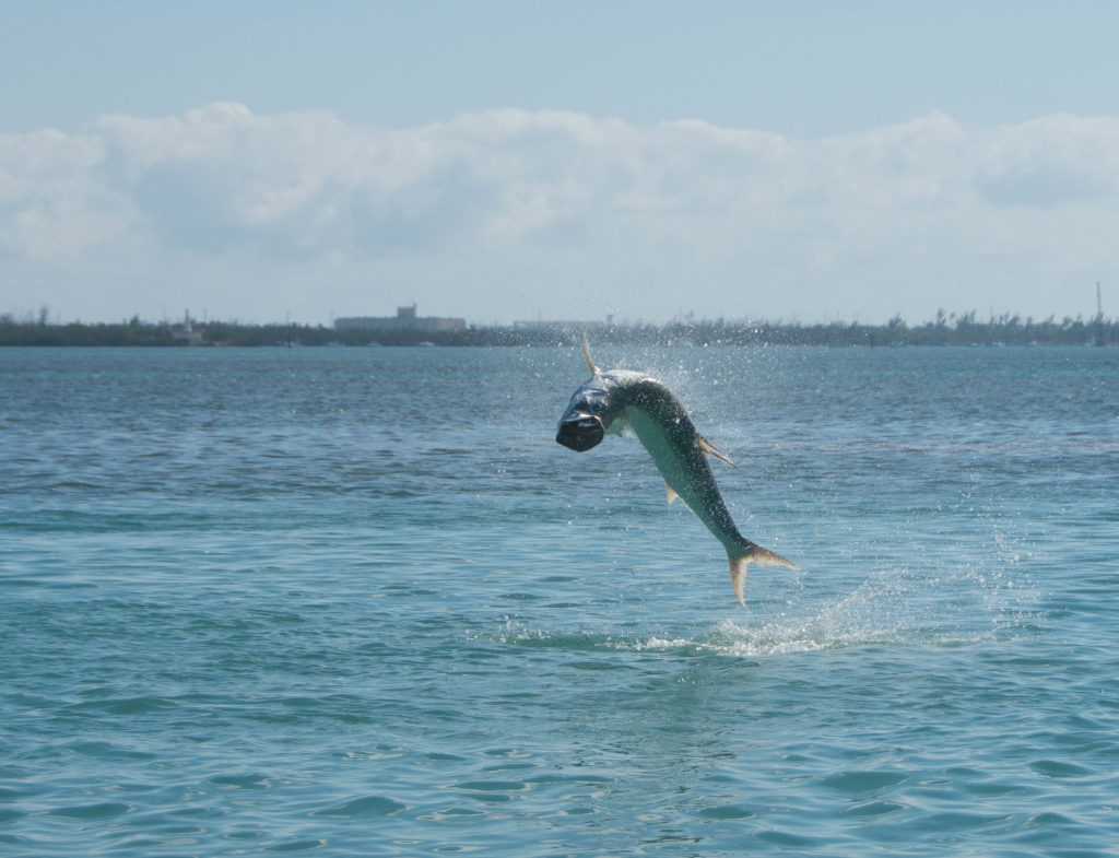 A nice Key West tarpon is jumping out of the water with the sun shining off of its scales and water spraying.