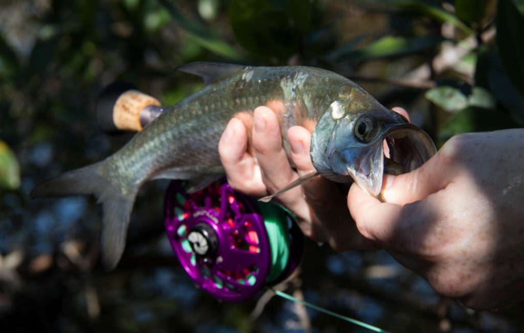 an angler holds up a very small tarpon about 8 inches long in a dark mangrove forest.