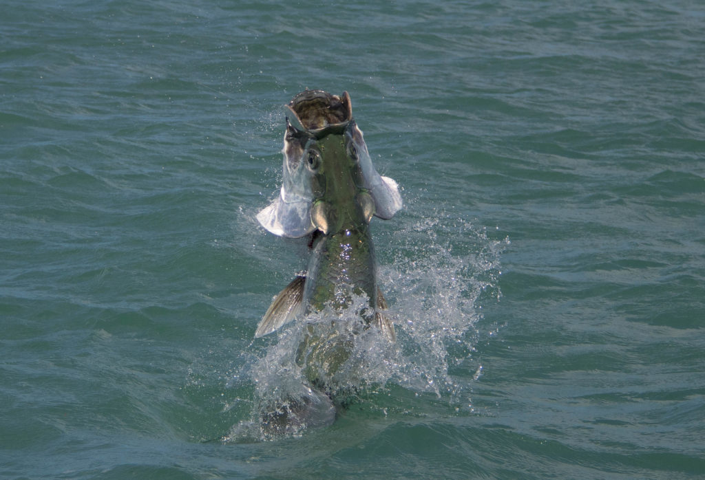 A nice key west tarpon jumps out of the water after being hooked its gills are flaring and mouth is open as half of its body breaks the water