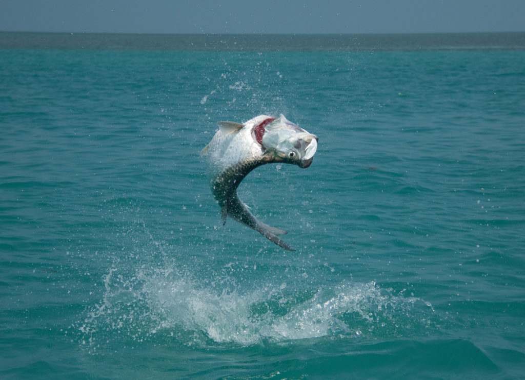 Tarpon fishing here in Key West is a year round affair