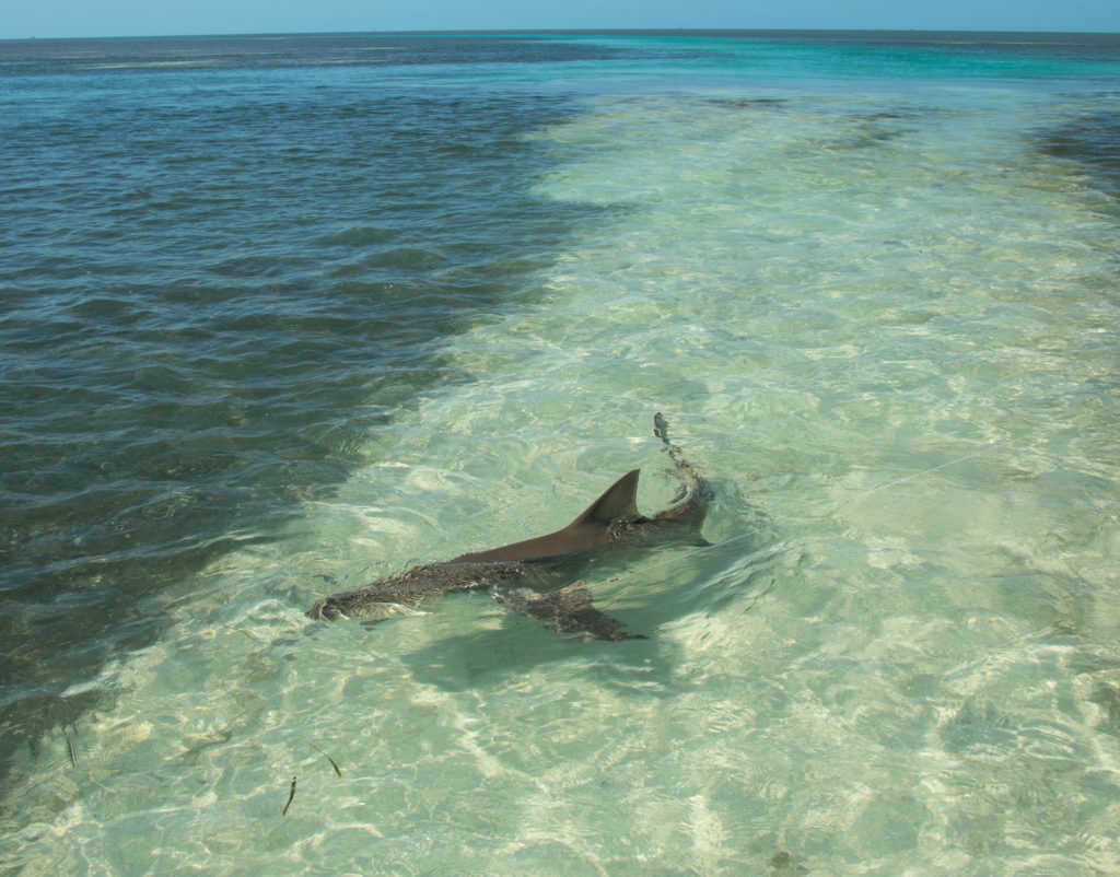 A beautiful lemon shark being caught in the scenic backcountry off of Key West with Tailing Water Expeditions