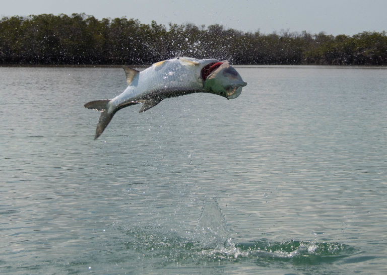 Cool jump shot of a fun size tarpon hooked in Key West, Florida