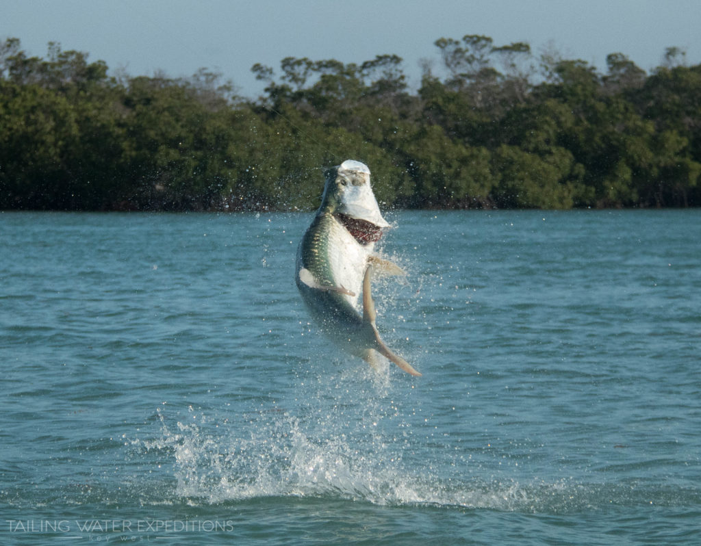 A monster tarpon gets some air after being hooked out in the Marquesas Keys. If you are looking for a unique fishing adventure be sure to ask us about fishing in the Marquesas about 25 miles to the west of Key West.