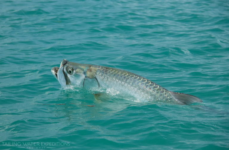 Did you know that Tarpon breath air? Here is a nice tarpon coming up tp take a breath during a hard fight in the backcountry off of Key West