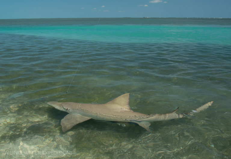 Shark fishing in the Keys is always a good way to pull on something big. Here is a full grown backcountry lemon shark.