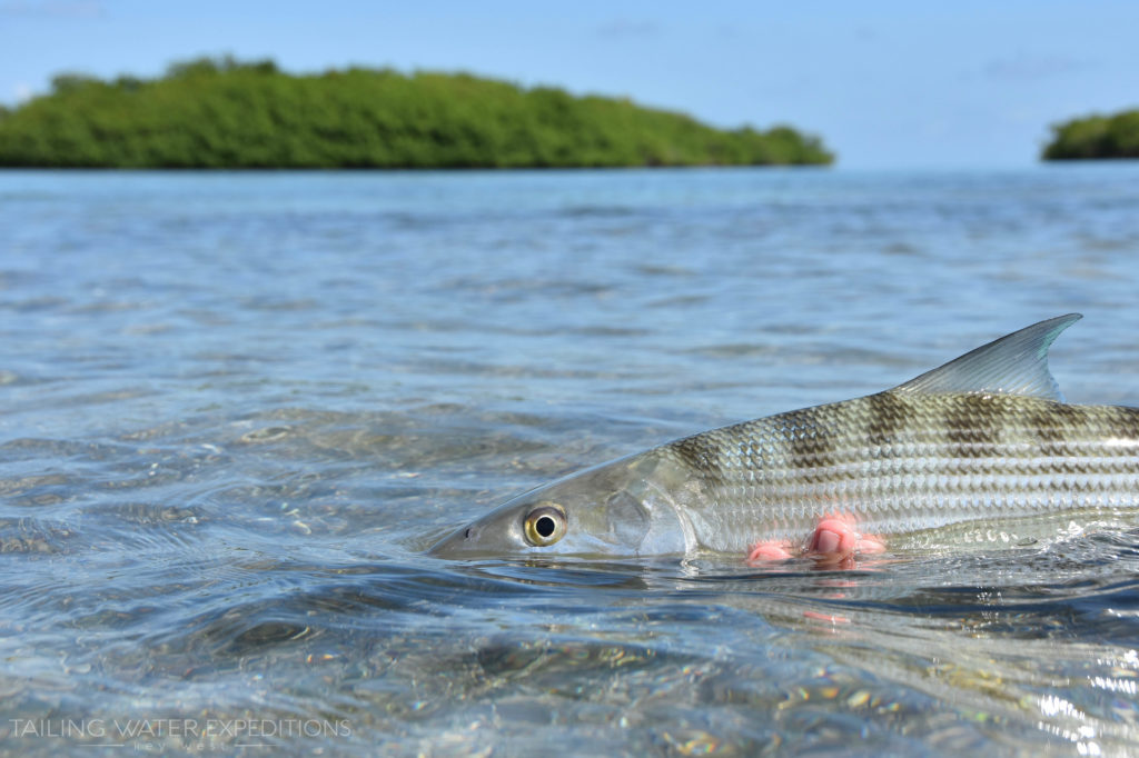 Bonefish are a very sought after sportfish in the Florida Keys
