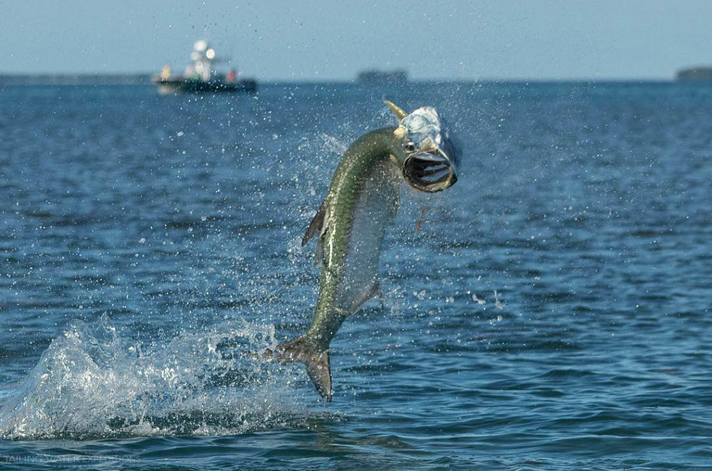 Tarpon fishing in Key West with Tailing Water Expeditions