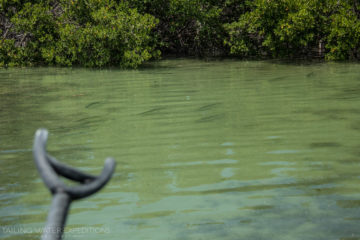Targeting juvenile tarpon around the mangroves on a fly rod is a blast!