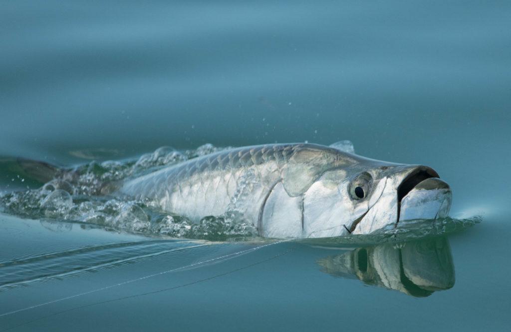 Tarpon gulp air to get oxygen as well breath through their gills like normal fish.