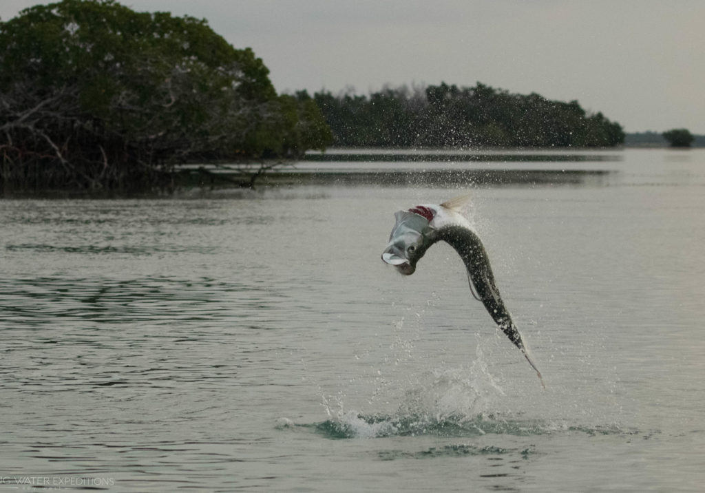 Here is a nice tarpon jumping in the backcountry off of Key West